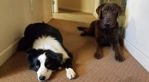 Border Collie and Chocolate Lab laying together posing for the picture