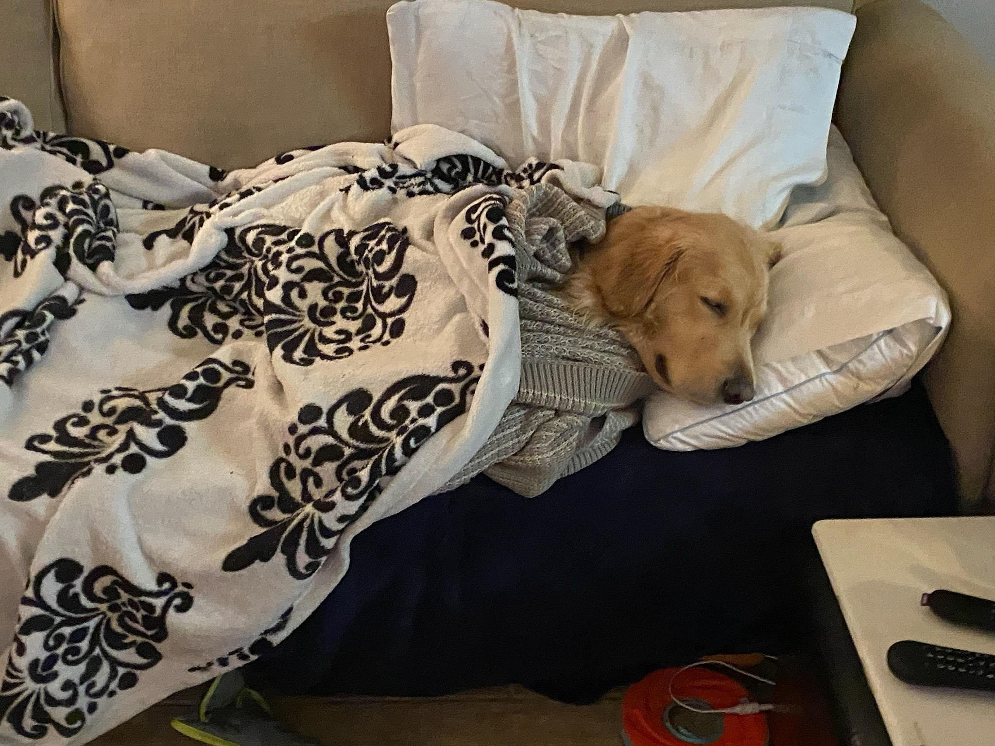 dog sleeping on couch wrapped up in blankets