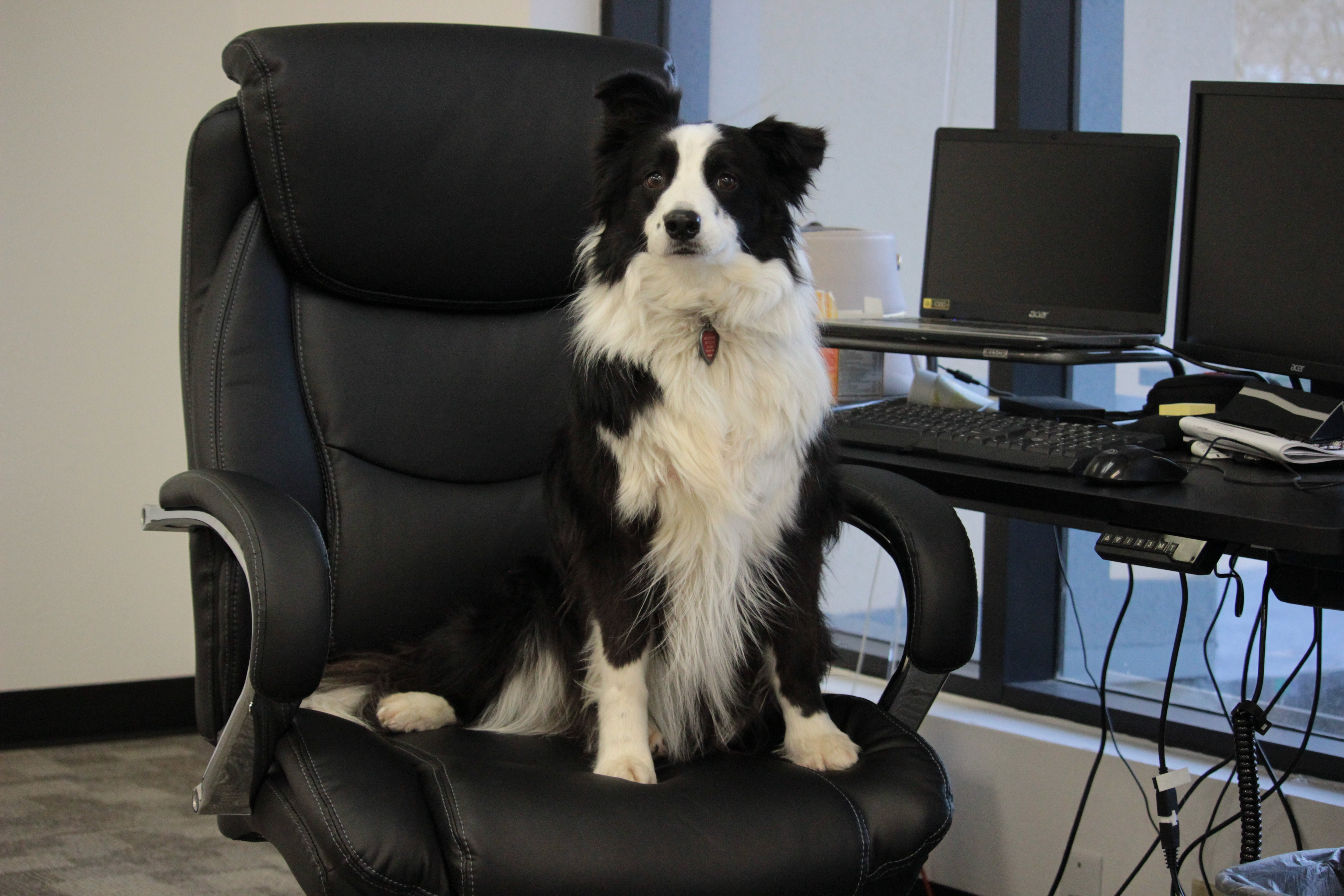 border collie sitting in an office chair