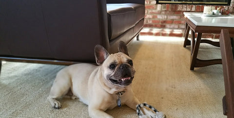 French bulldog posing for a picture with Double Tennis ball Rope toy lying in front of his paws