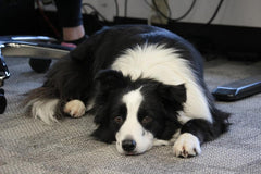 border collie lying on floor