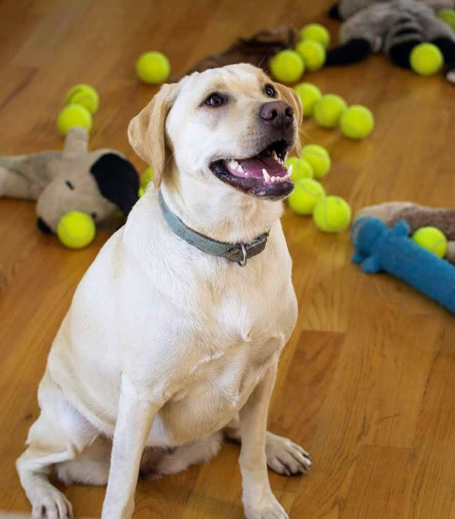 Millie the lab mix sitting in the middle of tennis balls waiting to play