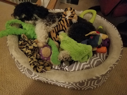 Schnoodle cuddling with toys in bed - dog sleeping positions