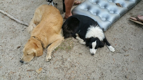 Two dogs, a collie and golden retriever, sleeping next to each other