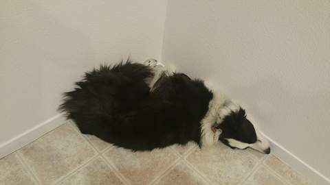 Border Collie twitching abnormally and showing signs of seizure disorders