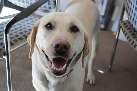 yellow lab smiling at camera