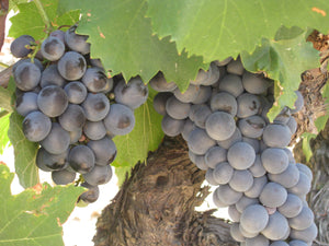 Grapes @ Quinta do Cume