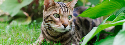 Are Bengal Cats Friendly? (A Complete Guide)