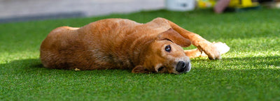 Can Dogs Destroy Artificial Grass?