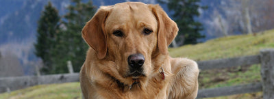 How Long Do Labs Live? Labrador Retriever Lifespan Guide