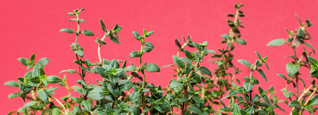 Can Dogs Eat Thyme?