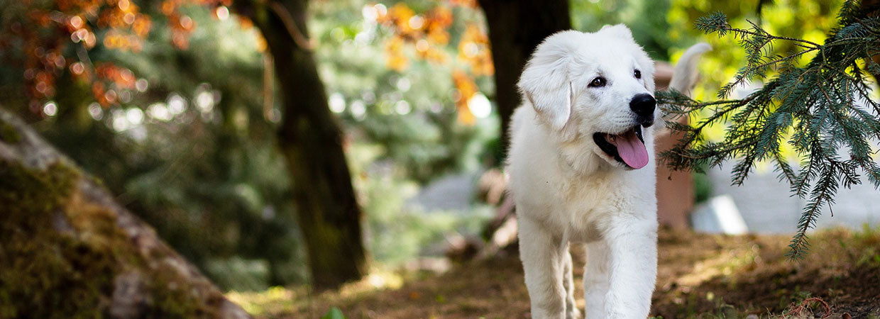 White Sheep Dog
