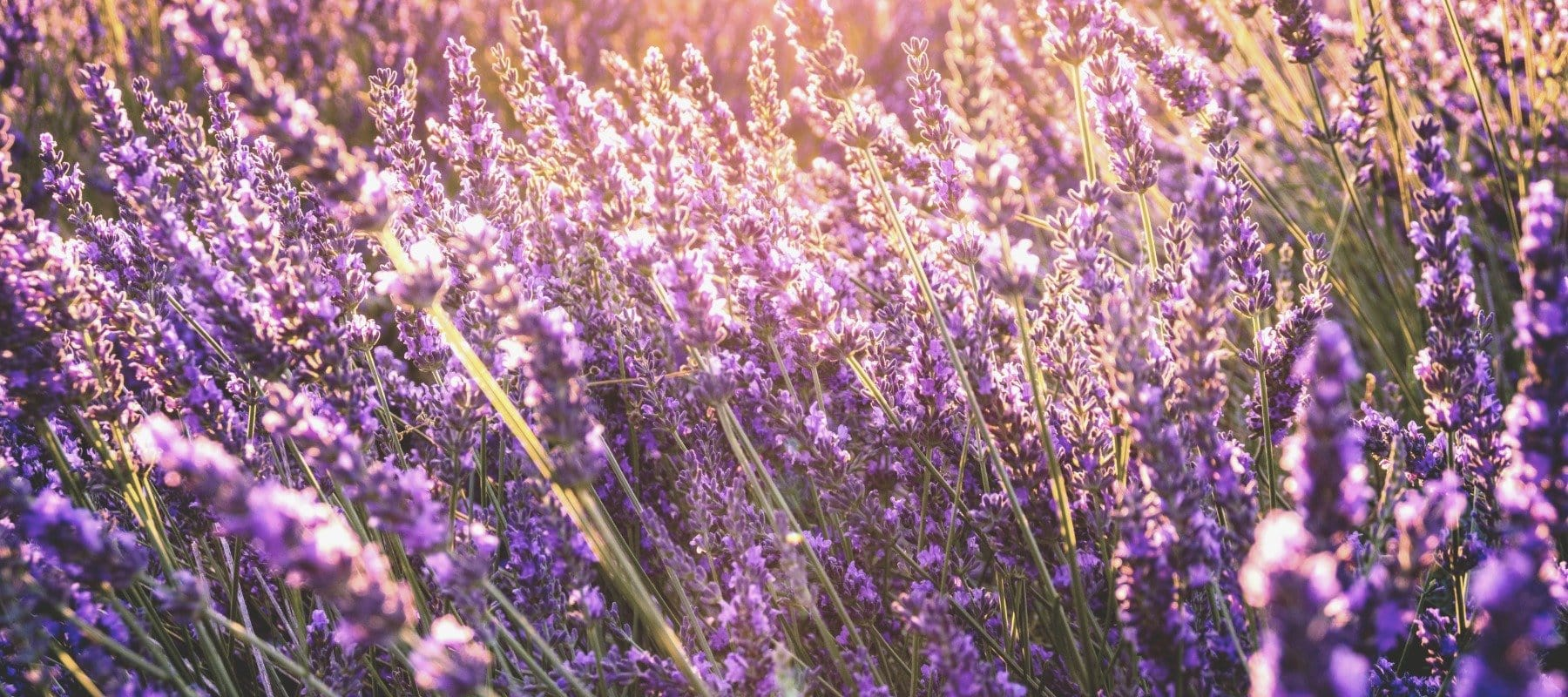 Relax with Lavender