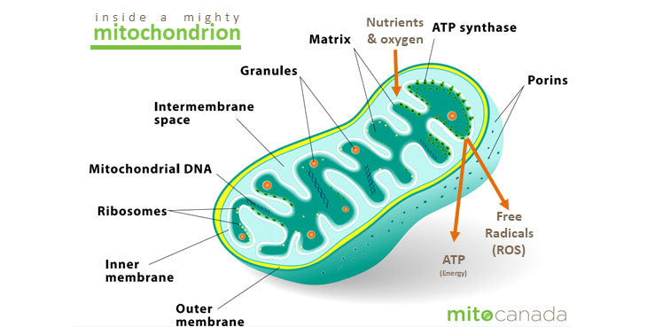 Mitochondrial Disease