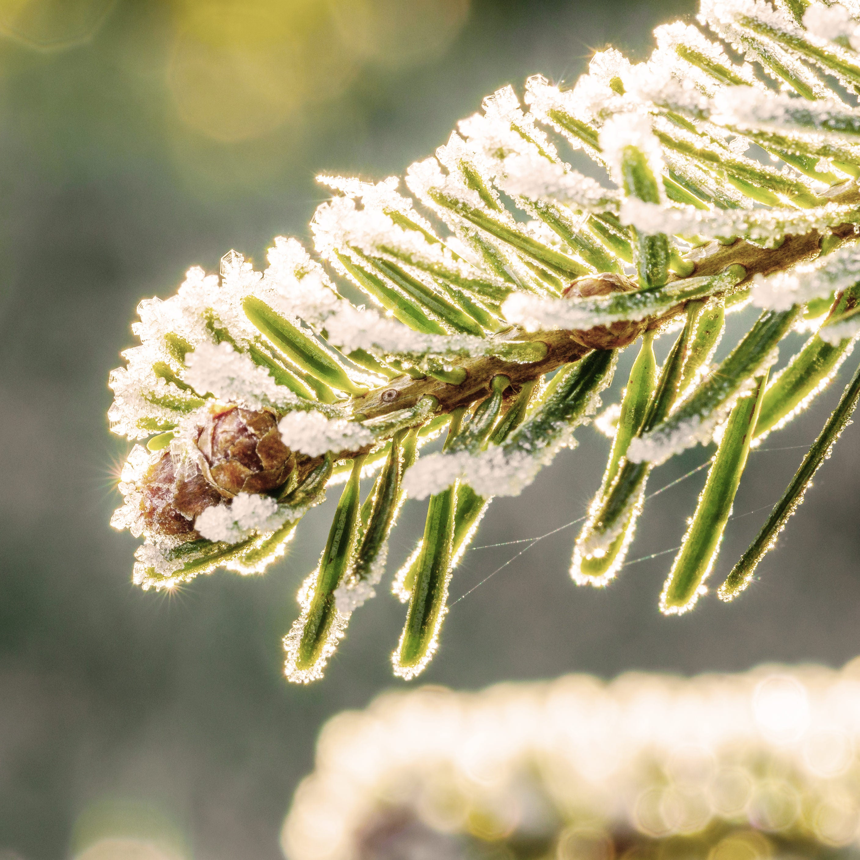 An extreme close up of Canadian Balsam Fir needles, the essential oil is an ingredient in many all natural Rocky Mountain Soap Company products.