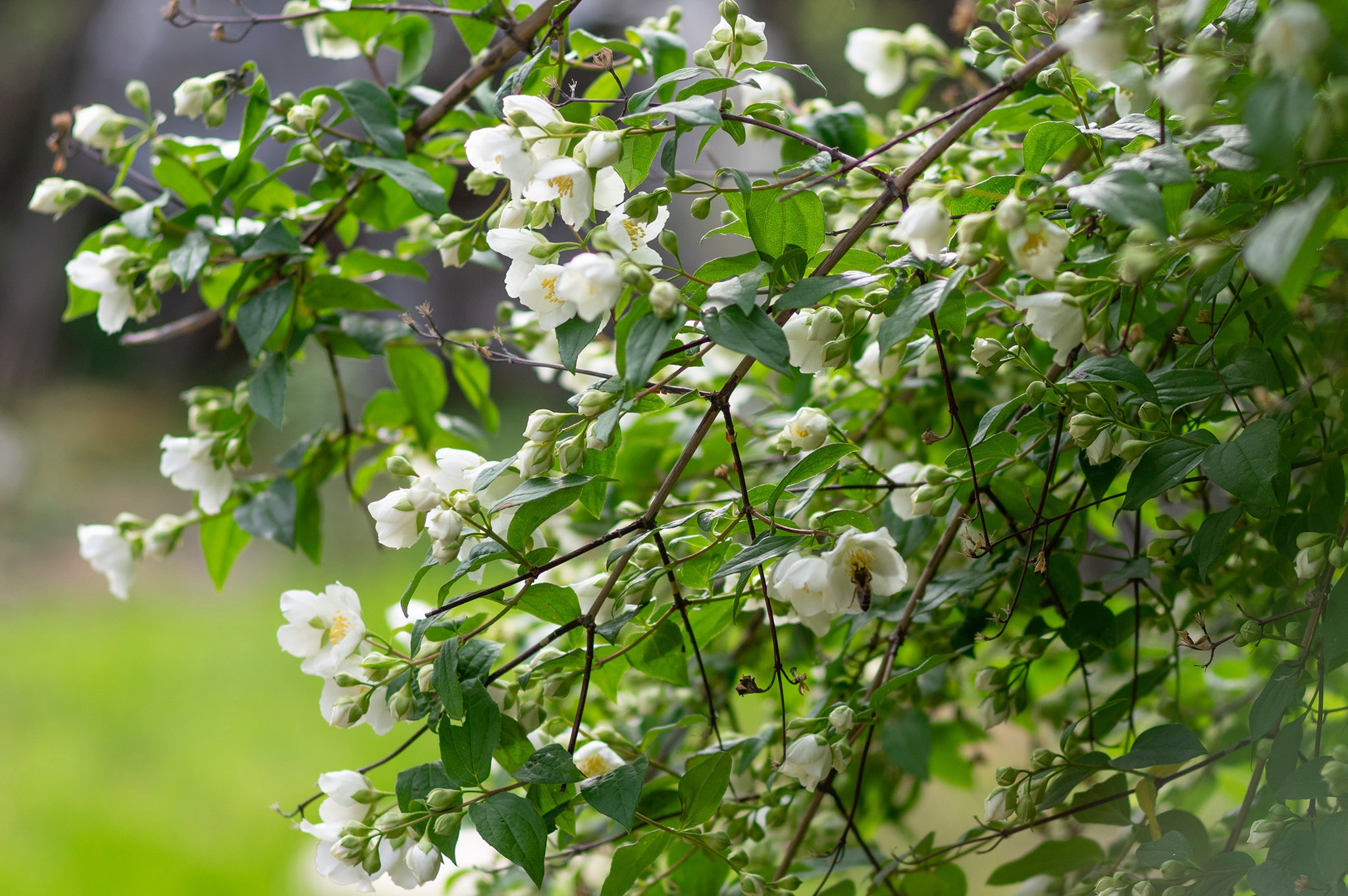Image of jasmine flowers.
