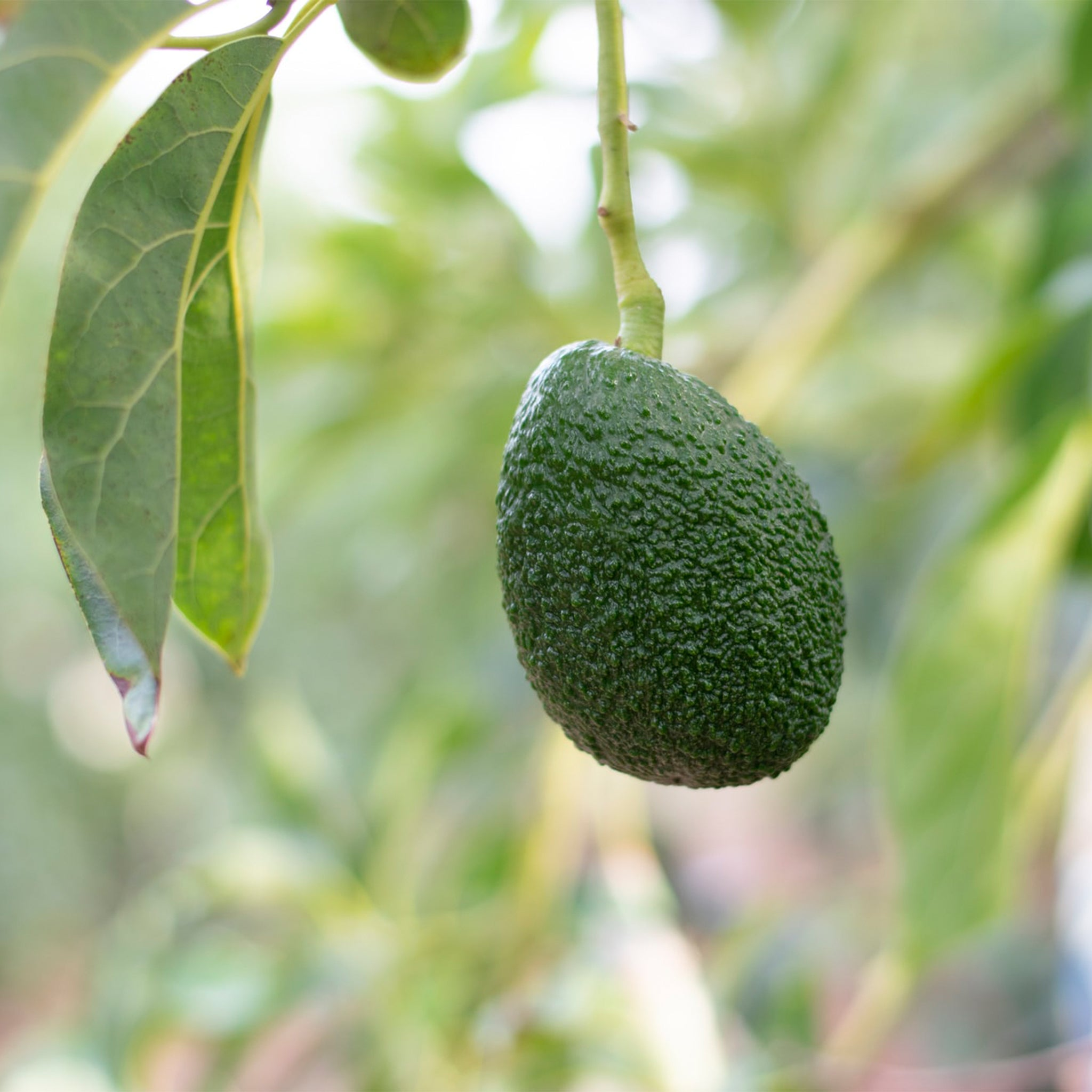 image of avocado fruit hanging from tree.