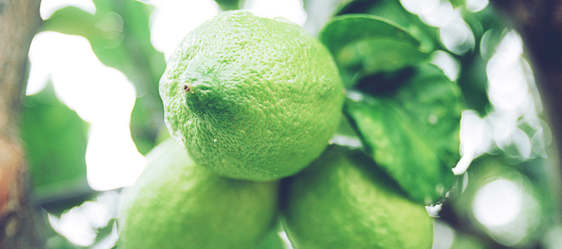 Lime (Citrus Aurantifolia) Essential Oil