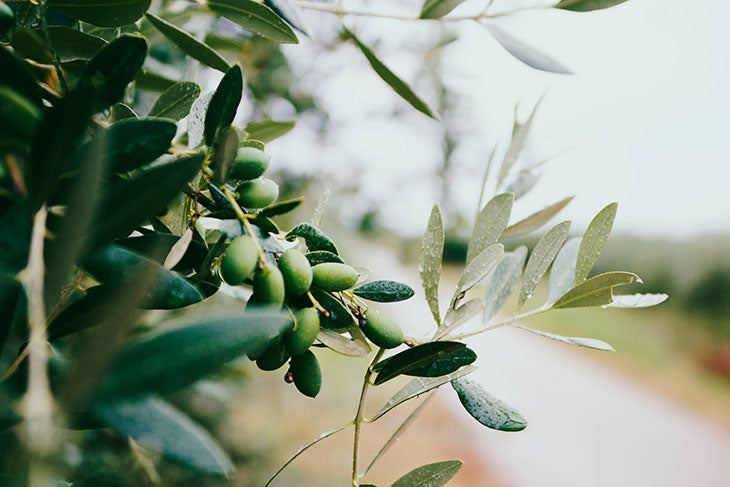 Olive Tree, Olive Oil is used in Modern Castile Style Soap