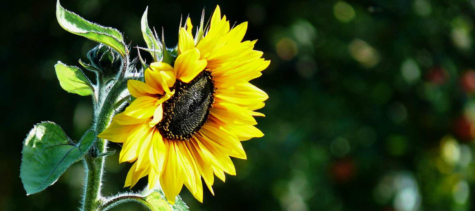 Sunflower Helianthus Annuus Oil Naturalpedia