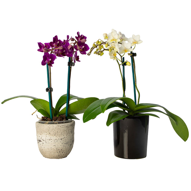 Mini Phalaenopsis Orchid from Mayflower Studio Florist in Marlborough, NZ