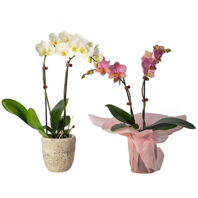 Phalaenopsis Orchid from Mayflower Studio Florist in Marlborough, NZ