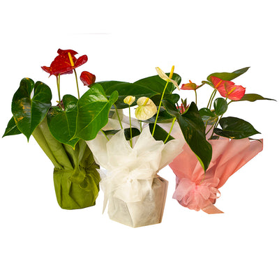 Anthurium Plant from Mayflower Studio Florist in Marlborough, NZ