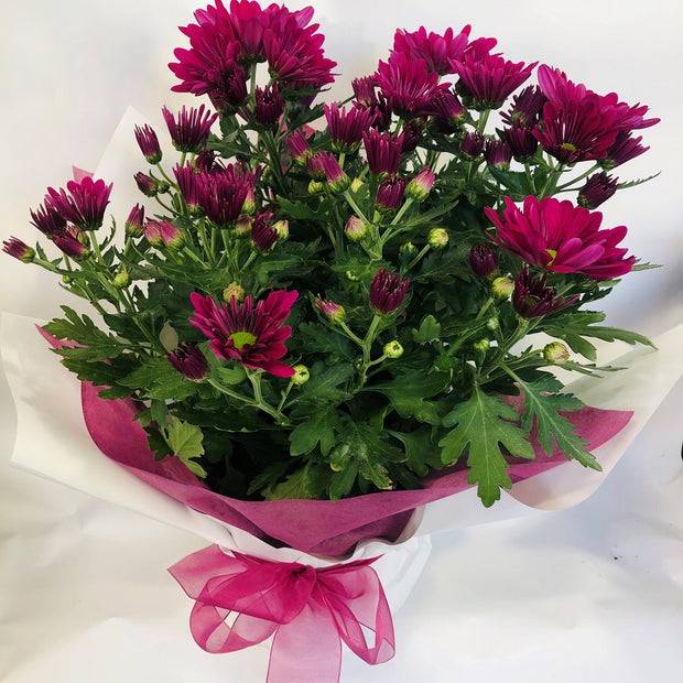 Potted Chrysanthemums
