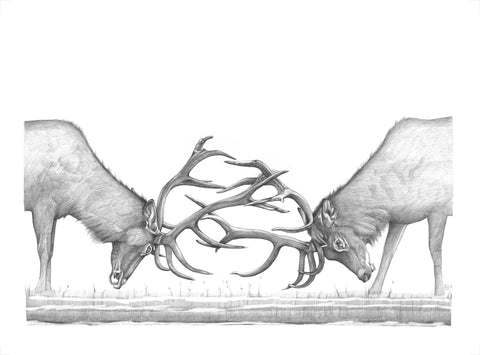 Antler Battle: Elk