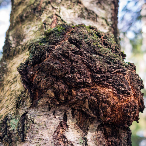 Chaga on a birch tree
