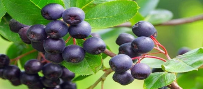 Forget Risky Diet Pills and Turn to Acai Berry for Weight Loss