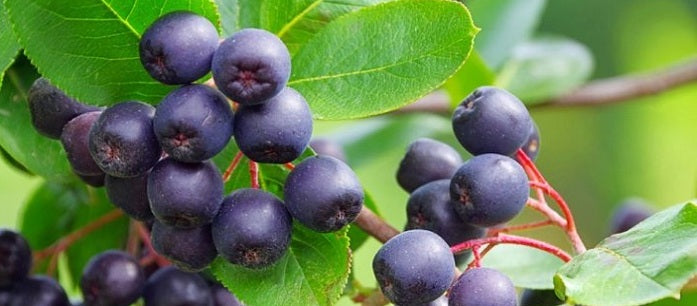 Choose acai berry supplements with care and caution to make sure that you only get the best. Learn some acai buying tips that can help you.