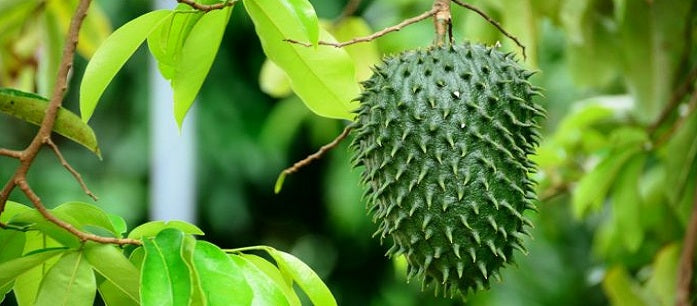 Soursop is famous for its rich antioxidant content. Find out about the many health benefits and the potential cancer-fighting ability of soursop.