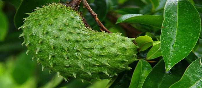 Soursop is a super fruit which can provide a lot of benefits from its roots to the seeds inside the fruit. Find out ways to use soursop.