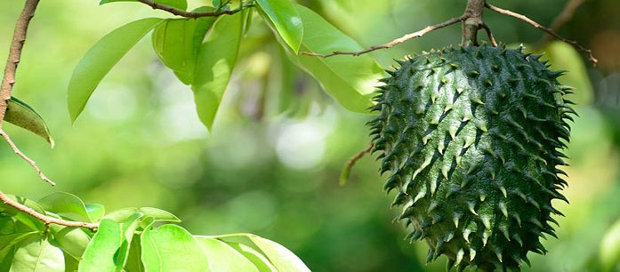 One of the traditional uses of guanabana is to treat wounds, but it is more than that. Here are a few secrets of eating guanabana and using its extract.