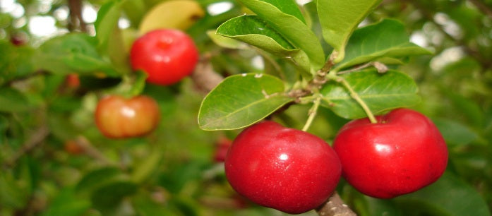 A lot of people now consider the west Indian cherry as a superfruit. Find out what great things it can do to help your body's overall function.