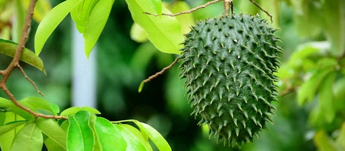 Soursop is one of the traditional fruits used to treat various conditions. Find out how you can grow soursop in your backyard to experience its benefits.