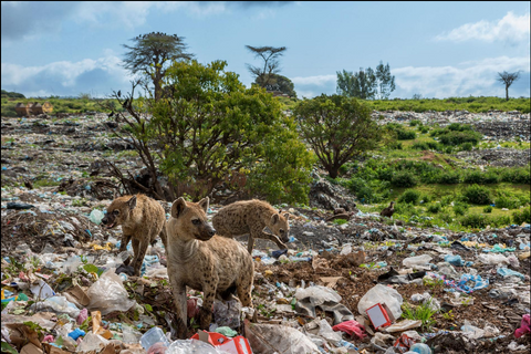 Some animals now live in a world of plastics—like these hyenas scavenging at a landfill in Harar, Ethiopia. They listen for garbage trucks and find much of their food in trash. PHOTOGRAPH BY BRIAN LEHMANN