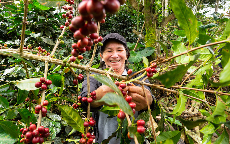 A member of Miraflores, a Fair Trade Certified coffee cooperative, picks ripe red coffee cherries.