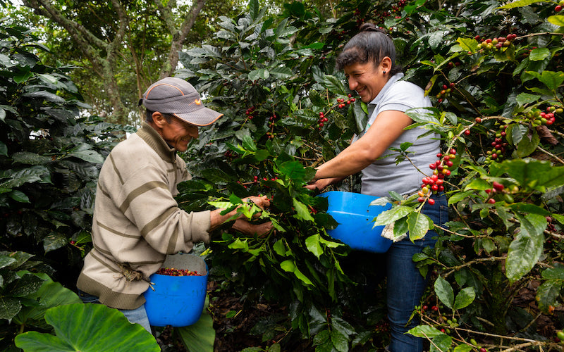 Two workers share a laugh while harvesting ripe coffee cherries.