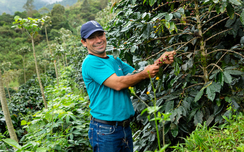 A fair trade worker picks ripe coffee cherries from his trees.