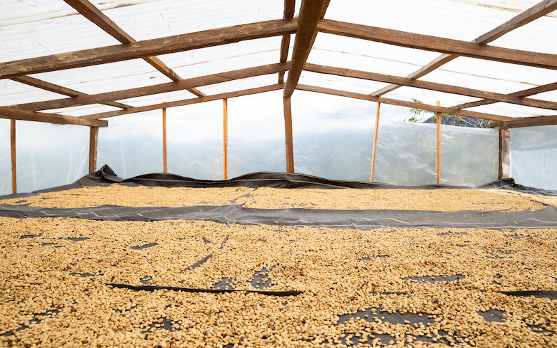 Organic coffee beans drying in a sun drying room.