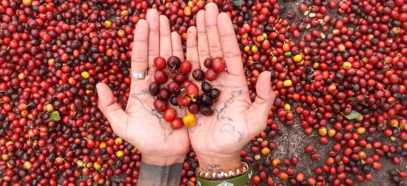 Person holding red coffee beans with two hands