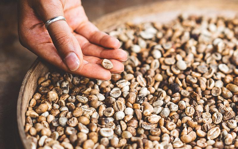 Female hand reaching into a bowl of unroasted green coffee beans