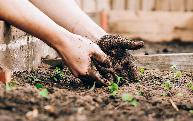An image of hands gardening in fertilizer made from coffee grounds.
