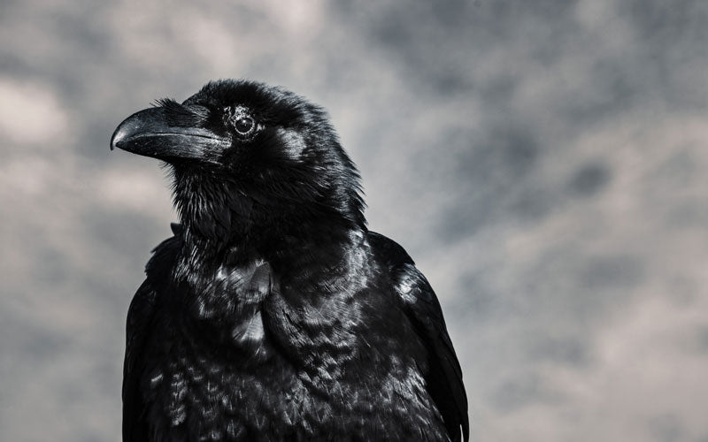A close up photo of a black crow sitting outside