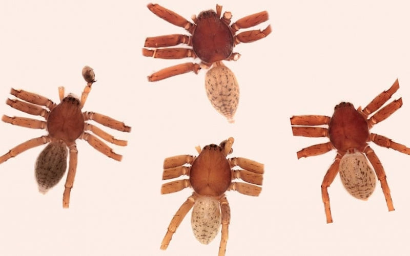 Four small spiders, named after heavy metal legends, are shown under a microscope