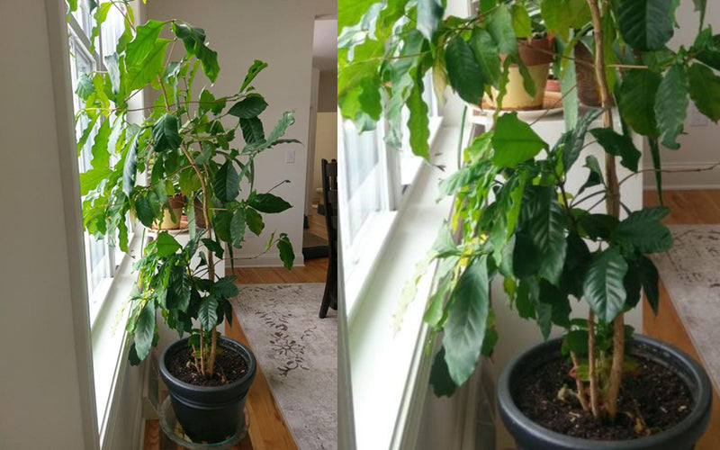 How To Grow a Coffee Plant at Home - Death Wish Coffee Company
