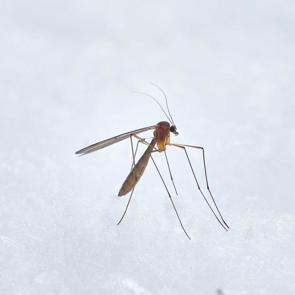 A mosquito on a white background.