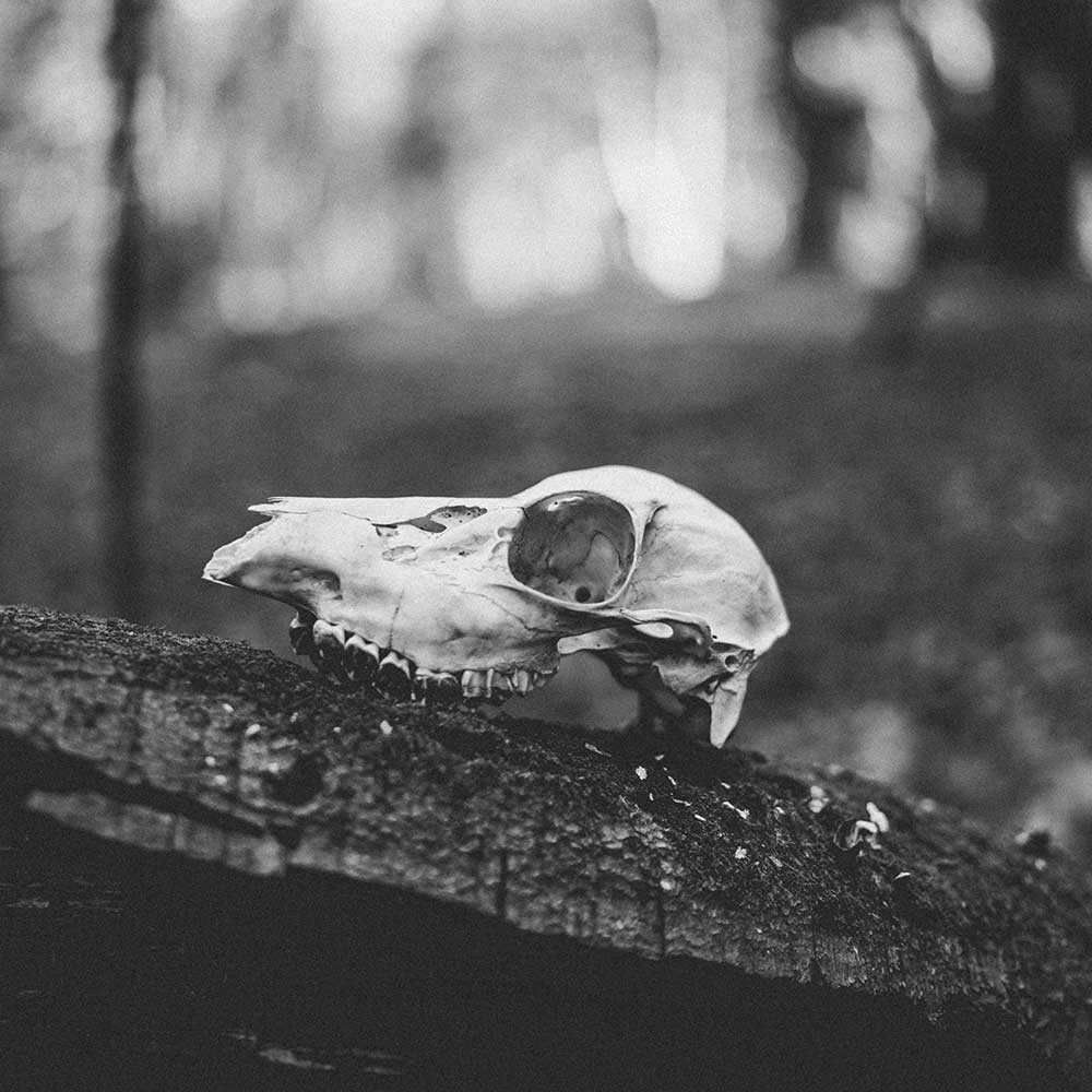 An animal skull sitting on a fallen tree shot in black and white.